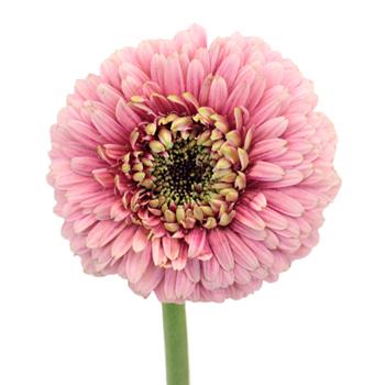 posh-gerrondo-elite-bloom-350_56398ea2