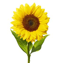 sunflower_145293031_250